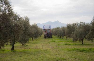 olivar de la denominación de origen estepa