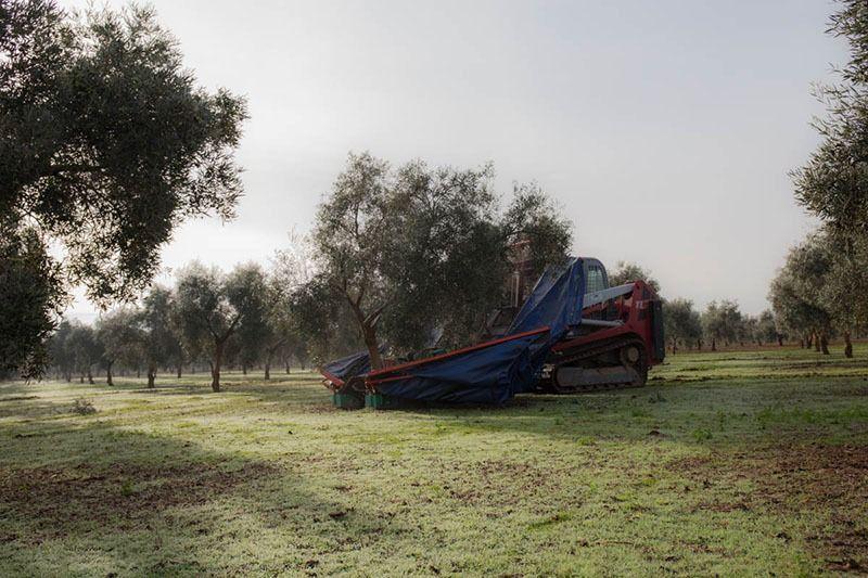 olivar ecológico recolección mecanizada
